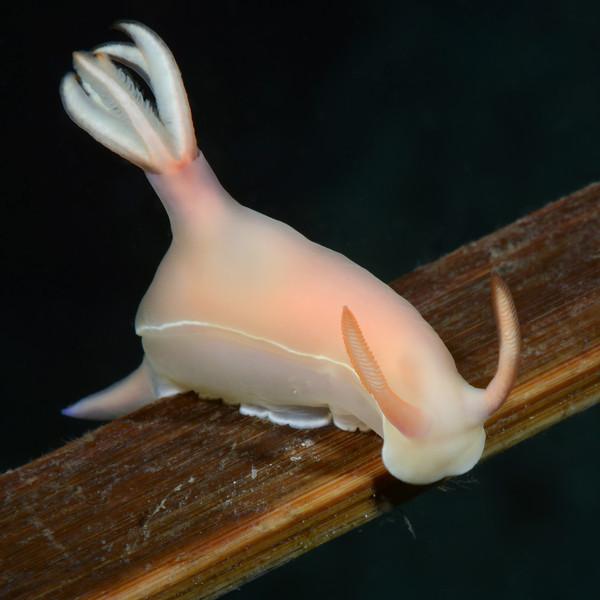Hypselodoris bullockii<br /> Anilao, Philippines