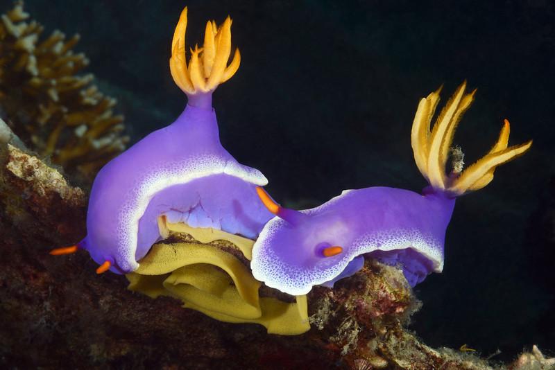 Hypselodoris aplogema<br /> Anilao, Philippines