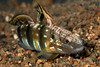 "Brown-barred goby (Amblygobius phaelena)<br /> ID thanks to ""Guest"""