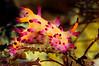 Aegires villosus<br /> Anilao, Philippines.