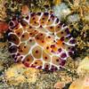 Pleurobranchus grandis<br /> Anilao, Philippines
