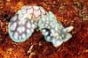 Micromelo undatum<br /> Anilao, Philippines