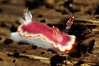 Chromodoris sp. 22 (?)<br /> Anilao, Philippines.