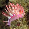 Flabellina rubrolineata.<br /> Anilao, Philippines.