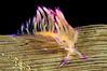 Flabellina rubrolineata (?).<br /> Anilao, Philippines.