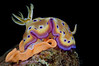 Goniobranchus kuniei, formerly Chromodoris kuniei, laying eggs<br /> Anilao Philippines.