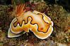 Chromodoris coi<br /> Anilao, Philippines