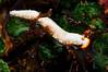Dermatobranchus sp. 21<br /> Anilao, Philippines