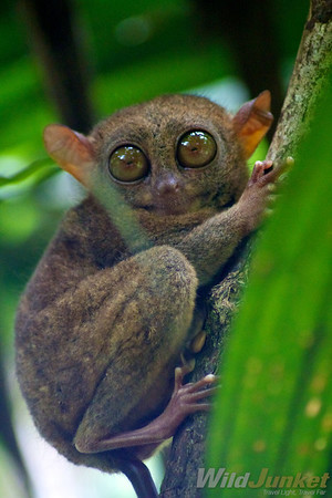 A full length photo of the tarsier