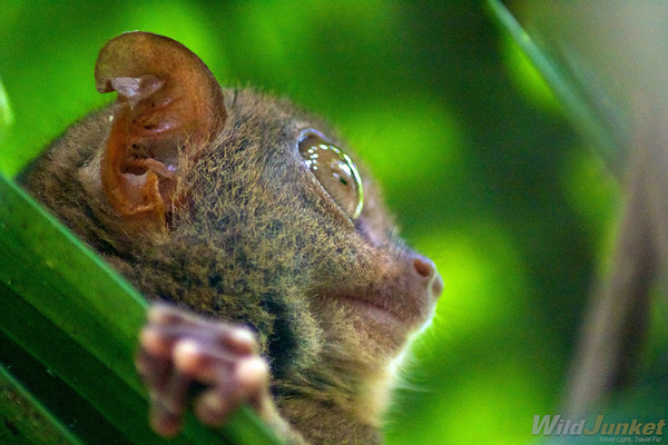 A closeup of the tarsier