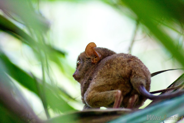 the tarsier from below