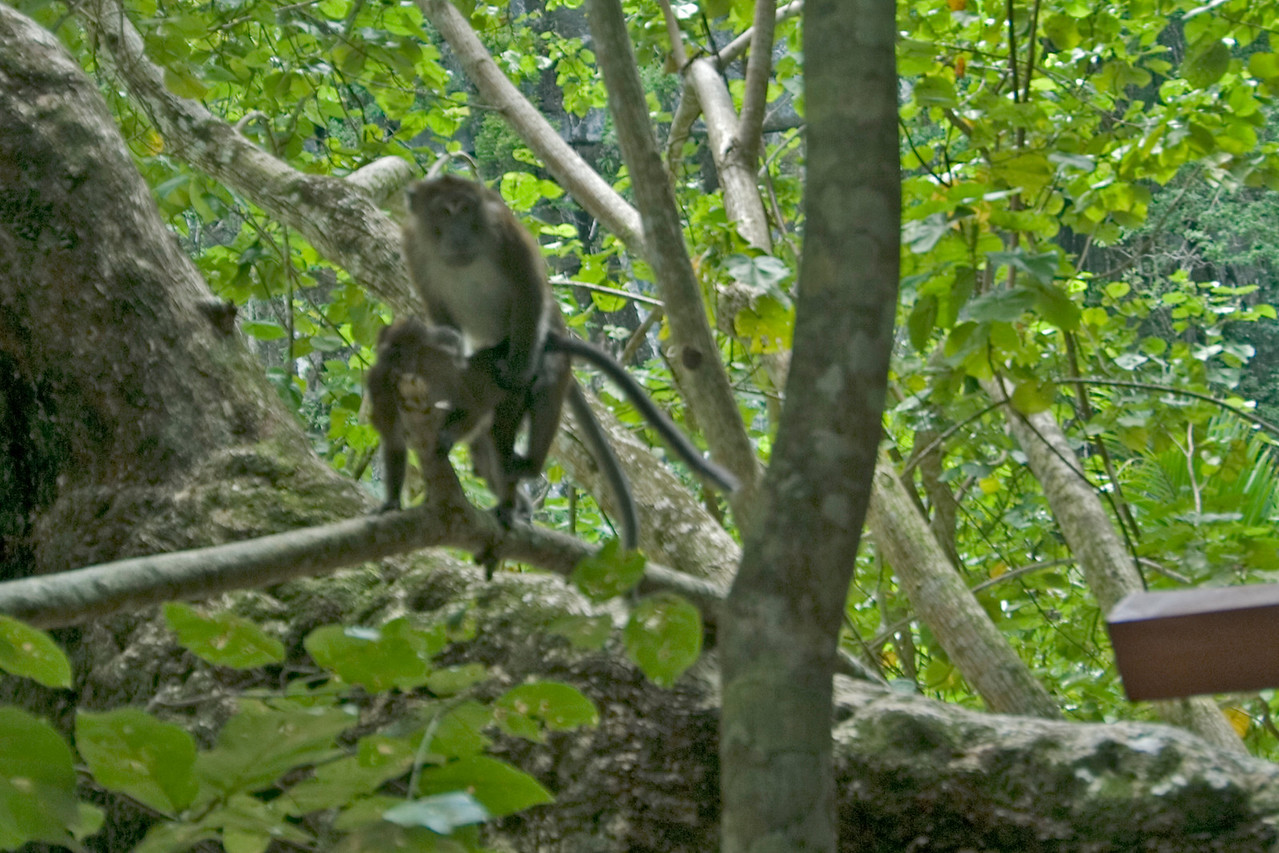 Monkeys on a tree branch spotted at Palawan, Philippines