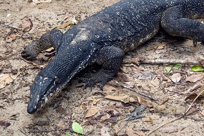 Close-up shot of the Monitor Lizard at Puerto Princesa City, Palawan, Philippines