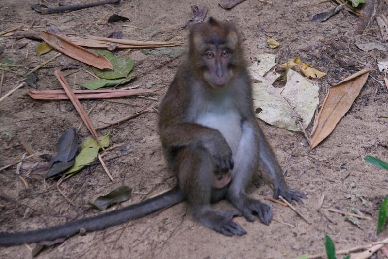 Monkey sitting on the ground near Underground River - Palawan, Philippines