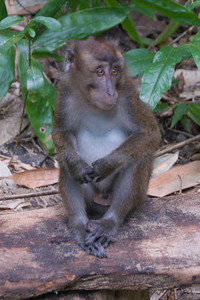 Monkey resting on a log at Palawan, Philippines