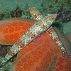 Sandperches on Cushion Star