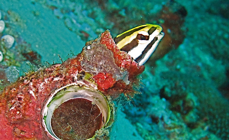 Goby in hole