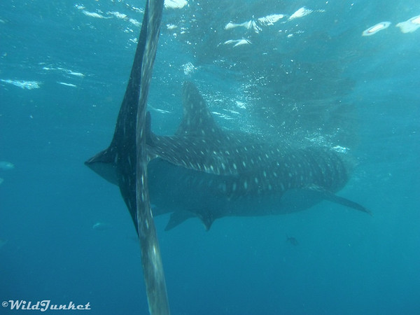 Tail of whale shark