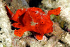 Frogfish, small juvenile, dime size