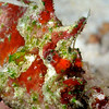 Frogfish, approx 5 inches long