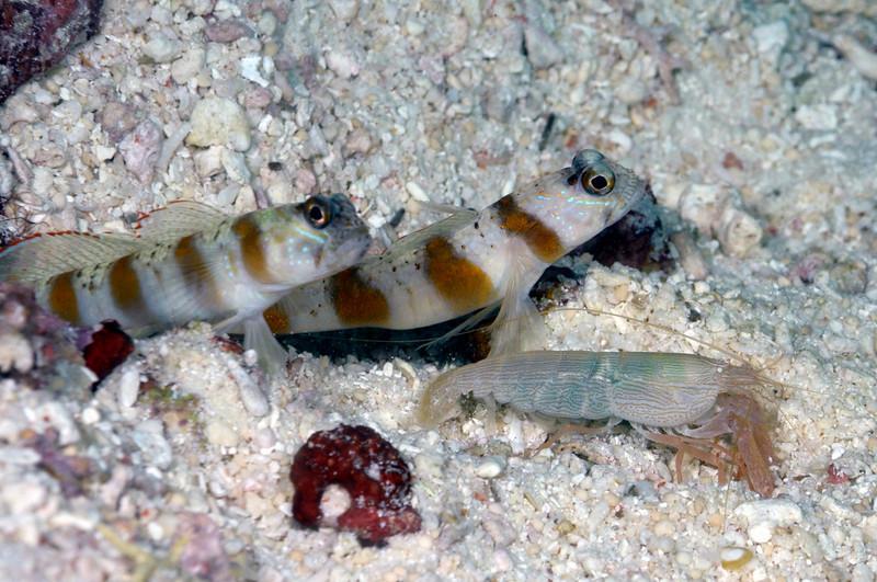 ShrimpGobies_091216