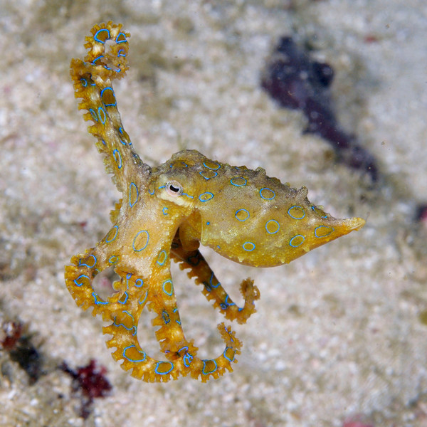 "Blue-ring Octopus:  ""Venom of the blue-ringed octopus is powerful enough to kill an adult human in minutes. There's no known antidote. The only treatment is hours of heart massage and artificial respiration until the poison has worked its way out of your system."""