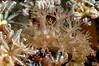 ? Marionia sp. 3<br /> Anilao, Philippines