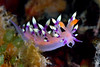 Flabellina expotata<br /> Malaysia