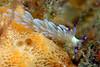Pteraeolidia ianthina<br /> Malaysia