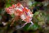 Flabellina rubrolineata<br /> Malaysia