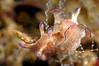 Aplysia parvula<br /> Anilao, Philippines