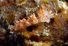 Flabellina rubrolineata<br /> Raja Ampat, Indonesia