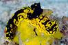 Aegires gardineri, adult, on Leucetta primigenia sponge<br /> Raja Ampat, Indonesia<br /> ID thanks to Dr. Terry Gosliner