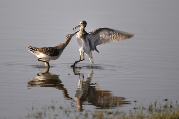 Wood Sandpipers fighting