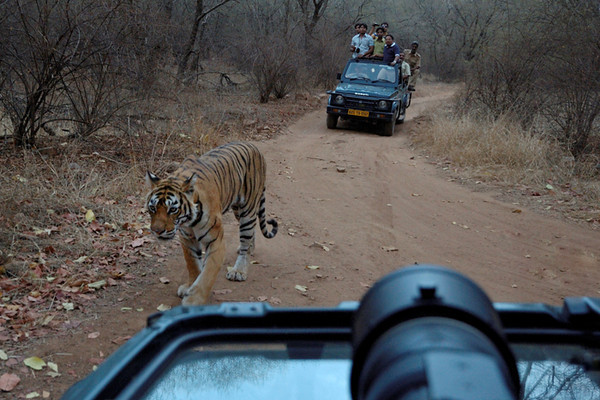 Not a great photo, but this demonstrates how close the tigers, especially Machali here, would walk to the jeep.