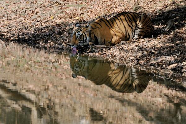 Machali's female cub.
