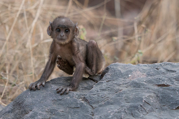Three-week old gray langur monkey, Ranthambore National Park