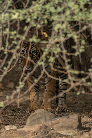 """T-107 (""""Sulthana""""), who is the daughter of perhaps the park's most famous current tiger, T39 (""""Noor"""").  Ranthambore National Park (Zone 1)"""