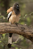 Rufous Treepie, Ranthambore National Park (Zone 2)