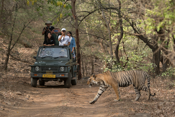 T-95, Ranthambore National Park (Zone 5)