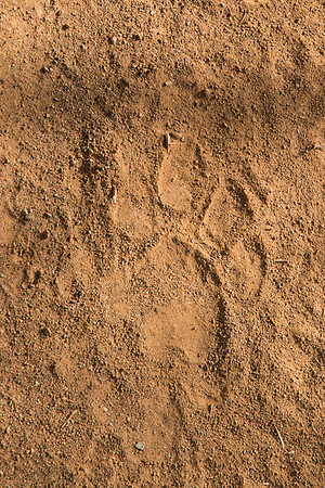"The guide spotted tigers by looking at the direction of their footprints (""pugmarks"") and the alarm-calls of prey.  Ranthambore National Park"