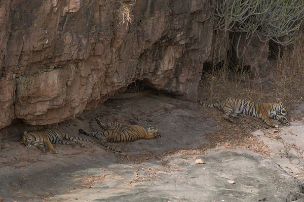 One male and two female cubs of Krishna, Ranthambore National Park (Zone 4)