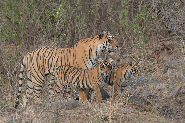 Arrowhead and her two six-month old cubs, Ranthambore National Park (Zone 3)