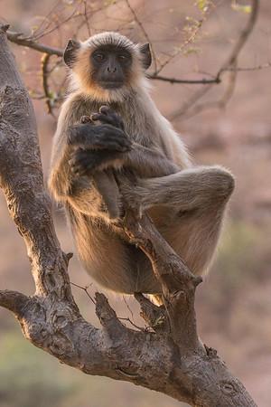 Gray langur monkey, Ranthambore National Park (Zone 4)