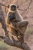 Gray langur monkey, Ranthambore National Park (Zone 4)