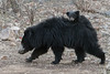 Sloth bear with three-month old cub, Ranthambore National Park (Zone 2)