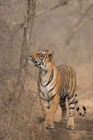 Female cub of Krishna, Ranthambore National Park (Zone 4)
