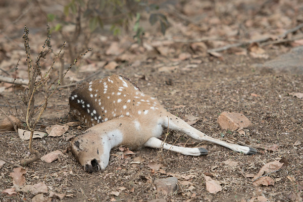 Remains of a spotted deer.  We were told the lack of fang marks indicates it was probably suffocated by a leopard rather than hunted by a tiger.  Ranthambore National Park (Zone 5)