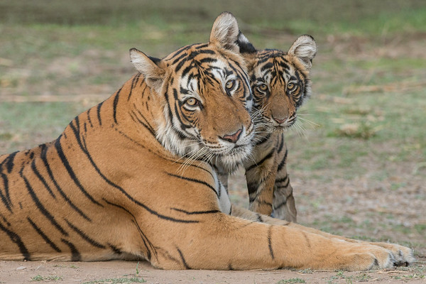 "T-84 (""Arrowhead"") and one of her six-month old cubs, Ranthambore National Park (Zone 3)"