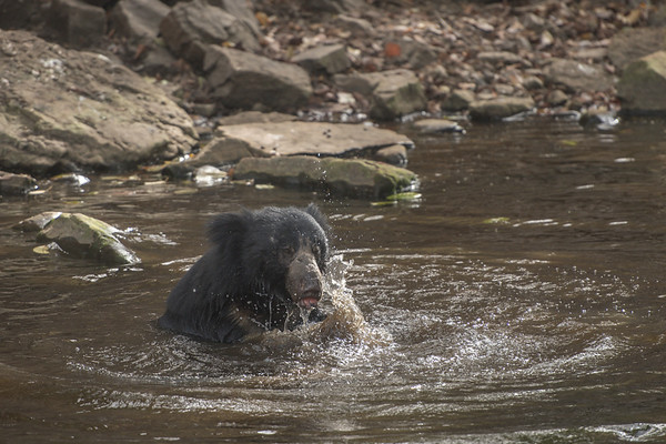 Sloth bear, Ranthambore National Park (Zone 4)